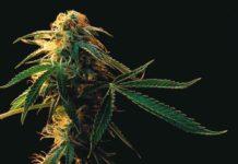 Cripy o Creepy Marihuana - Cannabis Cripy o Creepy