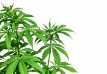 Humuleno Terpenos Marihuana - Humuleno Marihuana Medicinal