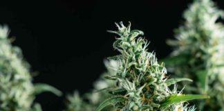 Terpinoleno un Terpeno de la Marihuana - Terpinoleno Marihuana