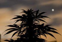 Luna Crecimiento Marihuana - Luna Influye Crecimiento Cannabis