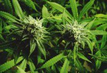 Plantar Marihuana en Invierno - Qué Plantar de Marihuana en Invierno