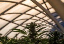 Cultivo Marihuana en Invernadero - Beneficios Marihuana Invernadero