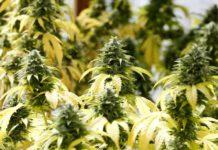 Marihuana Recreativa - Marihuana Recreativa para Disfrutar