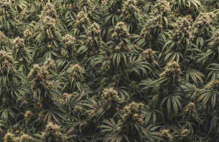 Asma Marihuana - Estudios Marihuana Medicinal para el Asma