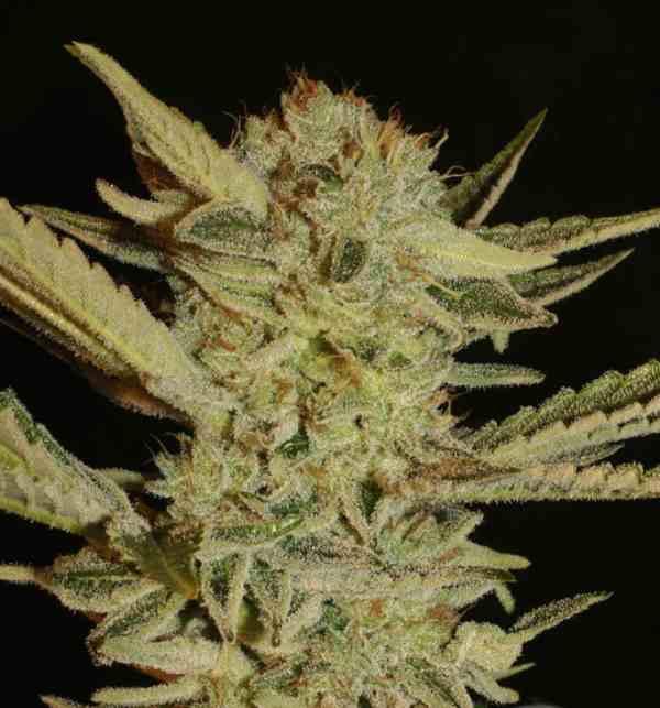 Semilla de Marihuana Buble Gum - Semilla de Marihuana Buble Gum Serious Seeds