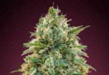Semilla de Marihuana Amnesia - Semillas de Marihuana Amnesia de Advanced Seeds