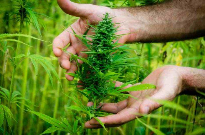 Plantas de Marihuana Hermadroditas - Plantas hermafroditas y Feminizadas