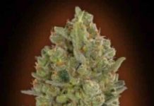 00 Cheese de 00 Seeds Bank - Semilla de Marihuana 00 Cheese
