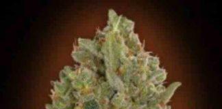 00 Cheese de 00 Seeds Bank - Semilla de Marihuana 00 Cheese