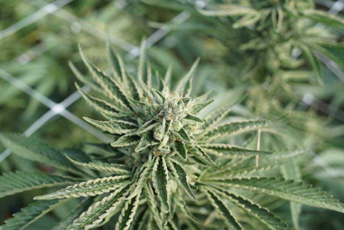 Marihuana Mejora el Sueño - Marihuana para Dormir Bien