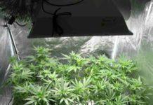 Colombia Marihuana Medicinal - Cultivo Marihuana Medicinal en Colombia