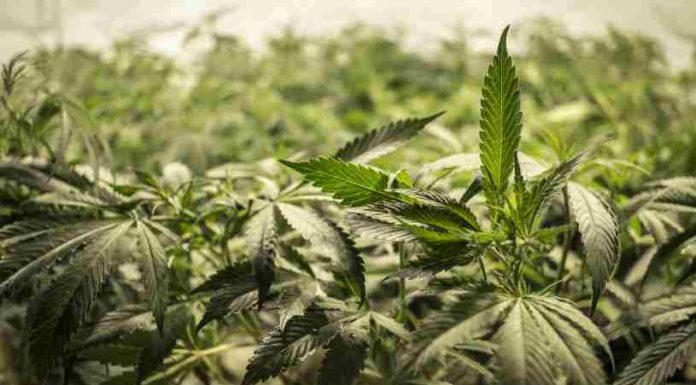 Cultivar Semillas de Marihuana Autoflorecientes - Cultivo de Semillas Aufoflorecientes
