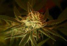 Marihuana Buena para Deportistas - Marihuana mejora el Rendimiento de los Deportistas