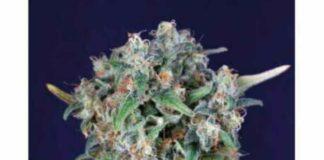 Black Kush 98 - Semilla de Marihuana Black Kush 98 de Gea Seeds