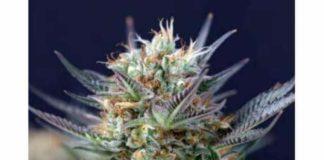 Somango - Semilla de Marihuana Somango de Gea Seeds