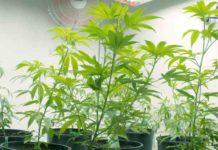 Cultivo Marihuana Interior - Errores en Cultivo Marihuana Interior
