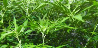 Micorrizas Cultivo Marihuana - Micorrizas Beneficios Marihuana