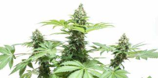 Olor Marihuana en Casa - Eliminar el Olor a Marihuana en Casa