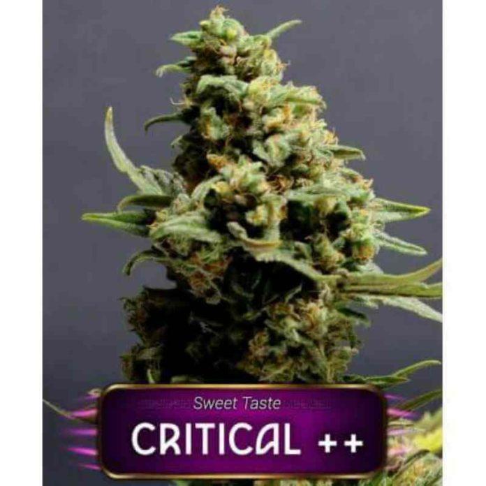 Critical ++ - Semilla de Marihuana Critical ++