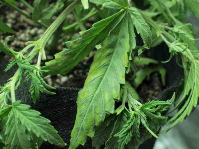 Hongo Fusarium - ¿Cómo Eliminar el Fusarium de las Plantas de Marihuana?