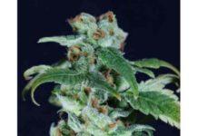 Super Skunk - Semilla de Marihuana Super Skunk