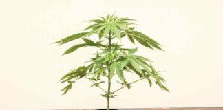 Marihuana Analgésico Potente - Supositorios de Marihuana