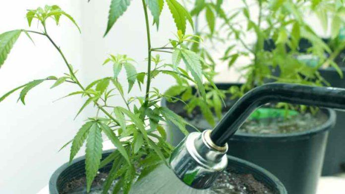 Trasplantar Marihuana - Cómo Trasplantar Plantas de Marihuana