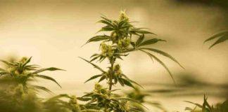 Marihuana Recreativa en Canadá - Legalización Marihuana Recreativa en Canadá