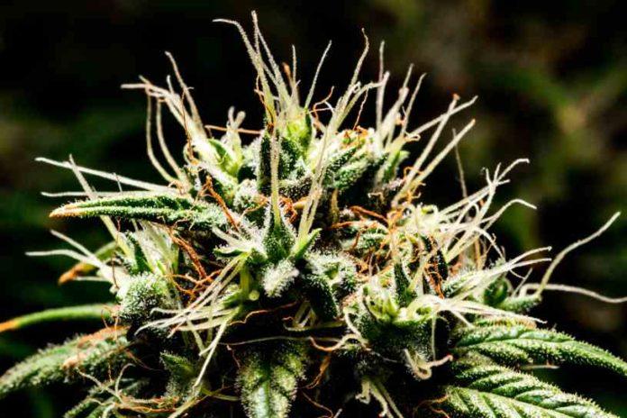 Marihuana Ataques de Pánico - Cannabis Ataques de Pánico