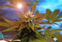 Formas de Consumir CBD Marihuana - Cómo Consumir el CBD