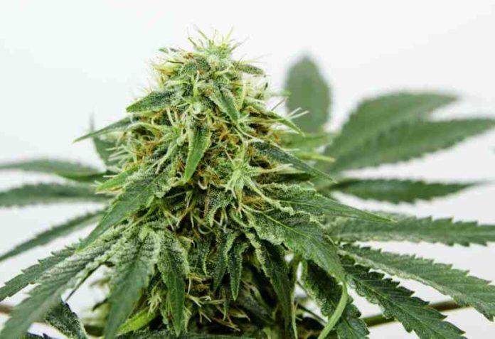 Semillas Marihuana Climas Fríos - Semillas de Marihuana en Invierno