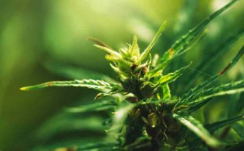 Marihuana Medicinal - Cannabis Medicinal