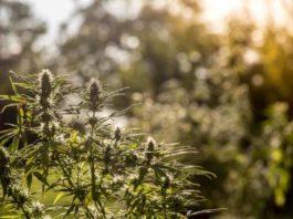 Marihuana Medicinal Epilepsia - ¿Es Efectiva la Marihuana frente a la Epilepsia?
