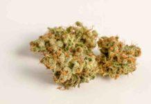 Marihuana Alivia el Dolor Crónico - Estudio Donde Marihuana Alivia Dolor Crónico
