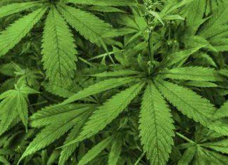 Cultivo de Marihuana España - Cultivo Marihuana Legal en España