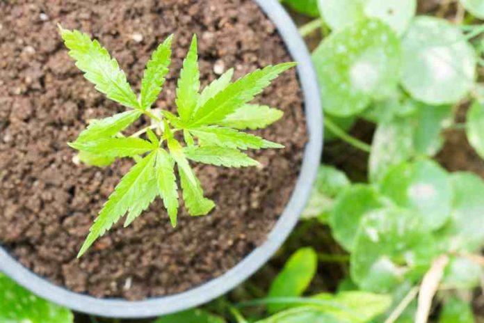 Micronutrientes en las Plantas de Marihuana para Crecer
