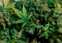 Cosecha de Marihuana Perfecta - Buena Cosecha de Marihuana