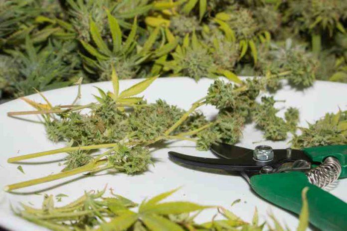 Aprovechar Hojas Marihuana - Utilizar Hojas Marihuana