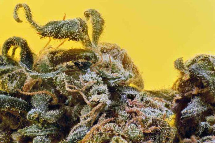 Marihuana Medicinal Italia - Cultivo Marihuana Medicinal Italia