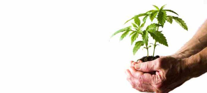 Raíces de la Marihuana - Aprovechar las Raíces de la Marihuana