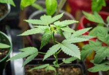 Agua Planta de Marihuana - Echar Agua a la Planta de Marihuana