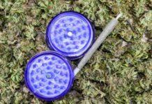 Las Semillas de Marihuana más Potentes de la Tierra - Semillas ricas en THC