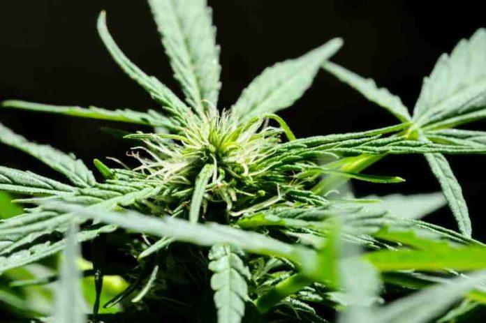 Marihuana y el Deterioro Cerebral - Marihuana Ayuda a Retardar el Deterioro Cerebral