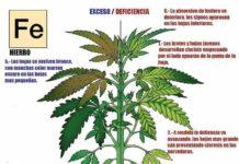 Carencias de Hierro en la Marihuana - Déficit de Hierro en la Marihuana