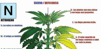Nitrógeno Planta de Marihuana - Carencia de Nitrógeno en la Planta de Marihuana