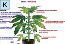 Potasio en la Marihuana - Cómo Actúa el Potasio en las Plantas de Marihuana