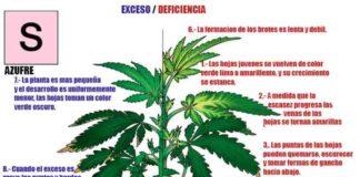 Azufre en la Marihuana - Cómo Actúa el Azufre en las Plantas de Marihuana