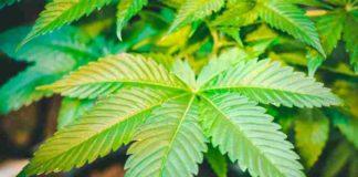 Cómo Recuperar Cultivo Marihuana - Ataque Plagas Marihuana