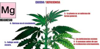 Magnesio en la Marihuana - Cómo Actúa el Magnesio en las Plantas de Marihuana
