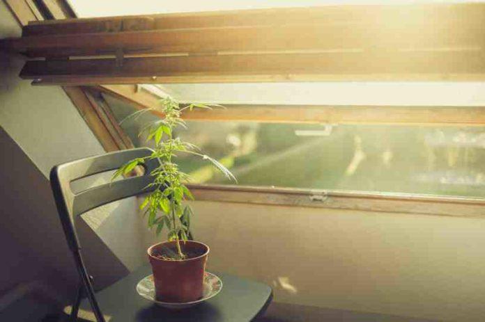 Fotosíntesis en la Marihuana - Cómo se Produce la Fotosíntesis en la Marihuana